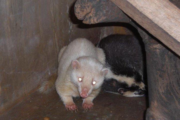Ferret Atau Biul Banyak Yg Belum Mengenal Binatang Ini Ceps Ibo Blog